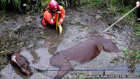 Kuda malang terperangkap dalam lumpur diselamatkan