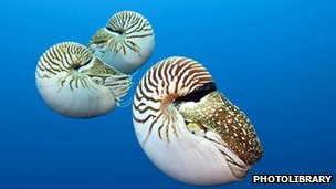 Nautilus swimming