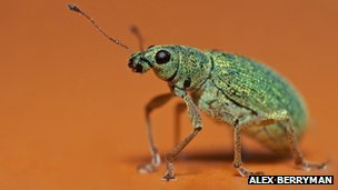Nettle weevil