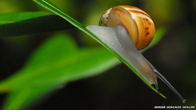 Polymita muscarum splendida snail