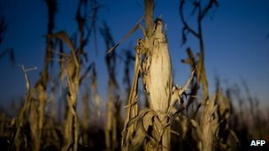Damaged corn in a field in Oakland City, Indiana