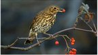 Song thrush with a red berry (c) John Harding / BTO