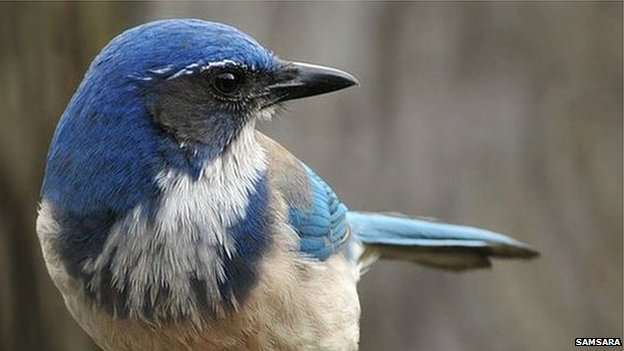 http://news.bbcimg.co.uk/media/images/62603000/jpg/_62603269_scrubjay.jpg