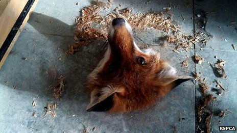 Fox stuck in floorboard
