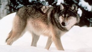 Wyoming wolf file pic