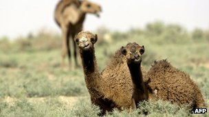 Camels sit in grassy desert
