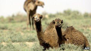Camels sit in grassy desert