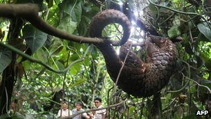 File photo of Vietnamese pangolin released after being rescued from suspected smugglers (July 2012)