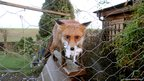 A fox is seen behind a wire fence. It has chicken feathers in its mouth.