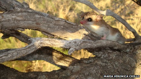 White-bellied fat-tailed mouse opossum
