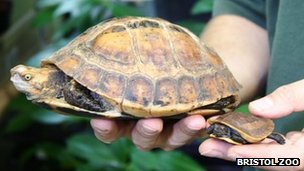 The baby Vietnamese box turtle being held beside its father