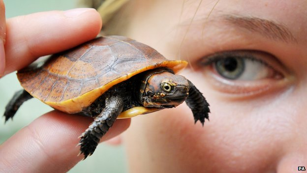 Vernon, the baby Vietnamese box turtle, is now seven-weeks-old and roughly the size of a matchbox