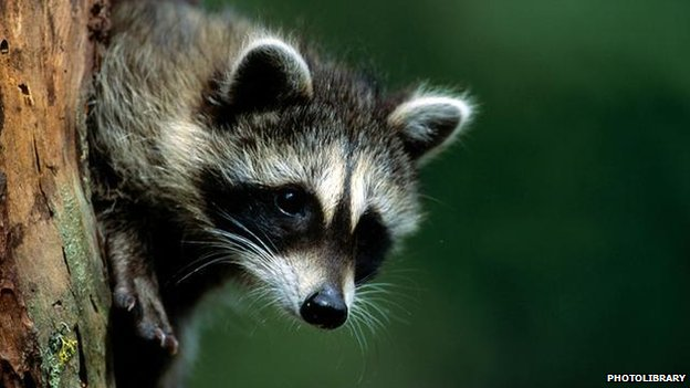 Raccoon: BBC Nature