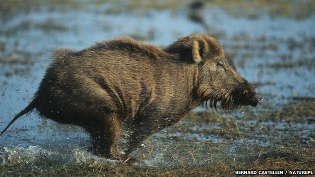 Wild boar: BBC Nature