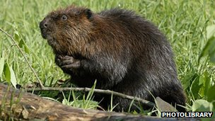 American beaver: BBC Nature