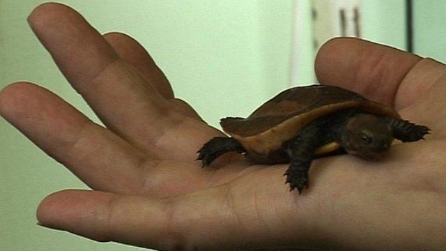 Vietnamese box turtle