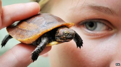 Seven-week-old Vietnamese box turtle