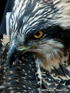 Alba the osprey