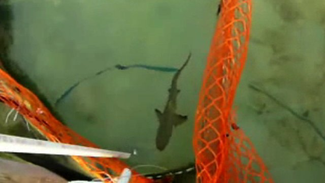Lemon shark receiving food reward