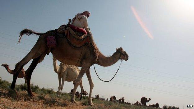 Desert shepherd on his camel