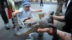A child looks at a young American alligator