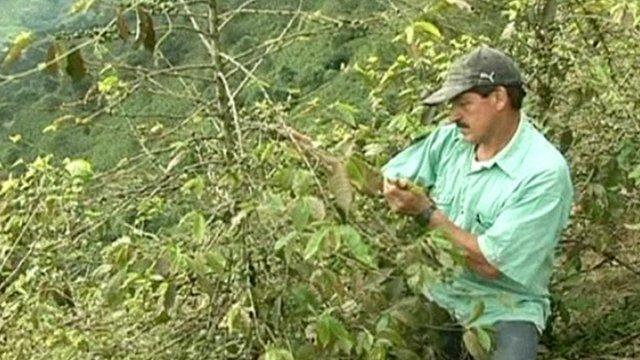 A Coffee farmer inspects his crop