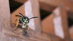 Wasp house cleaning (c) David Handley / BWPA