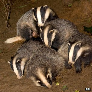 Badgers playing