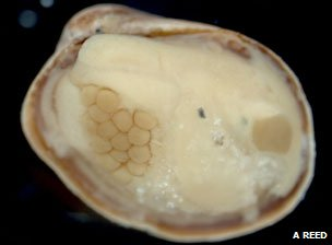 Eggs brooding inside a bivalve shell