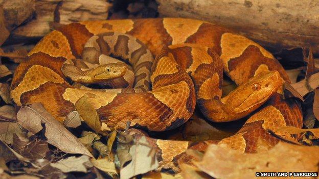 Una serpiente copperhead mujer y su hijo parthenogenic (c) Charles Smith y Eskridge Pam