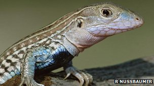 A whiptail lizard (c) Rolf Nussbaumer