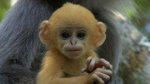 Phayre's leaf monkey - Life
