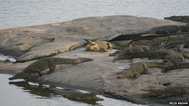 Crocodiles at Yamoussoukro
