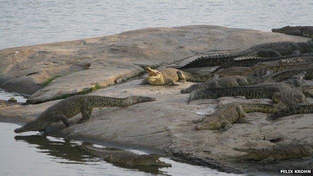 Crocodiles at Yamoussoukro