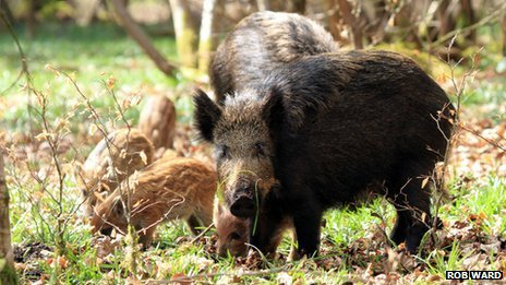 A group of wild boar in the Forest of Dean