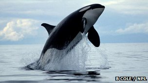 A breaching killer whale