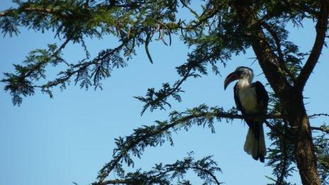 A hornbill in an Acacia