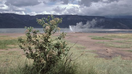 Laggera shrub at Lake Bogoria&#039;s hot springs