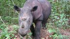 Diceros sumatrensis     Save the Rhino International