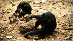 Chimps using tools