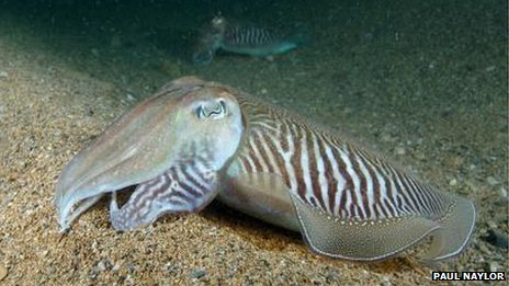 Cuttlefish photographed by Seasearch volunteer Paul Naylor.