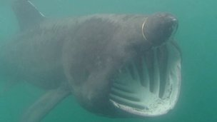 Basking shark in Manx waters