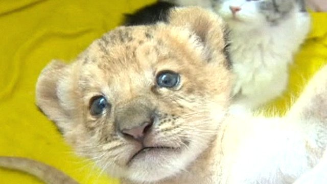 Siberian zoo breeds the world's first Liliger - BBC News