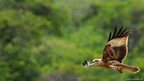 An eagle flies at Yala National Park