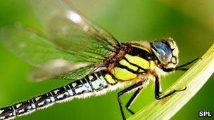 Hairy hawker dragonfly