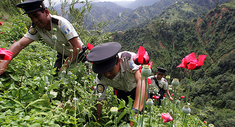 Police in Guatemala destroy poppy fields