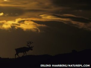 Silhouetted reindeer