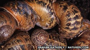 Garden snails clumped together