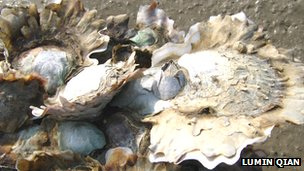 Oysters thriving in an intertidal zone in Xiamen, China