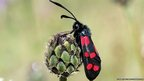 Six-spot burnet (c) D Green / butterfly conservation